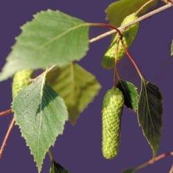 hojas de abedul