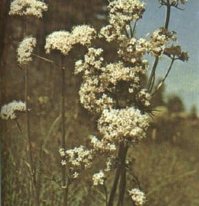 Valeriana propiedades medicinales