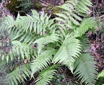Helecho común (Pteridium aquilinum) propiedades medicinales