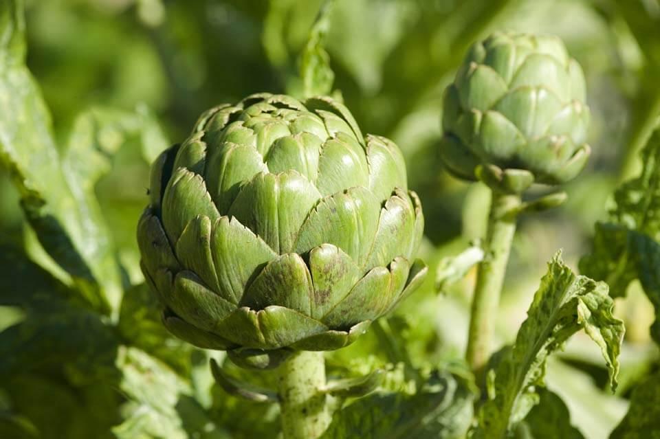Propiedades medicinales de alcachofa hierbas y plantas for Planta decorativa propiedades medicinales