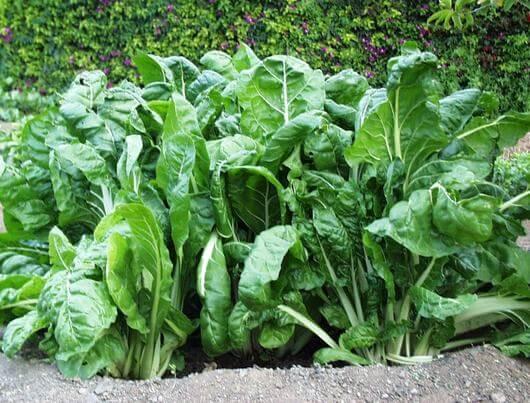 Propiedades medicinales de la acelga hierbas y plantas for Planta decorativa con propiedades medicinales