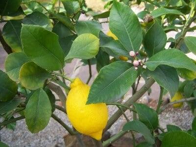 Propiedades medicinales del limón