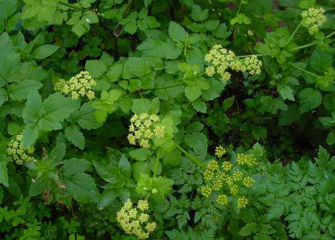 Propiedades medicinales apio caballar hierbas y plantas for Planta decorativa con propiedades medicinales crucigrama