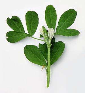 Propieades medicinales alholva hierbas y plantas medicinales for Hierbas y plantas medicinales