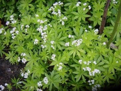 propiedades medicinales de la aspérula olorosa