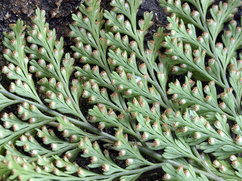 Propiedades medicinales cabri a hierbas y plantas for Hierbas y plantas medicinales