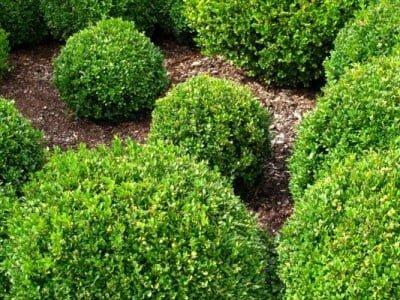 Purgante hierbas y plantas medicinales for Arbustos de jardin nombres