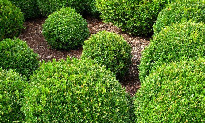 Propiedades medicinales boj hierbas y plantas medicinales for Arbustos ornamentales para jardin