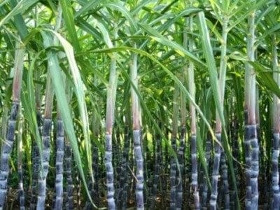 usos medicinales caña de azúcar