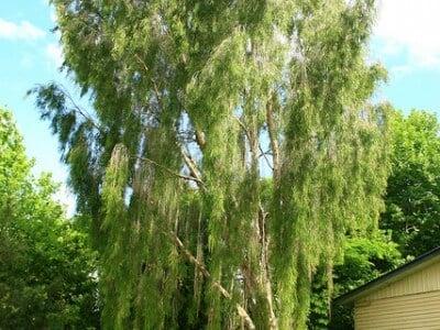 usos medicinales del cayeput