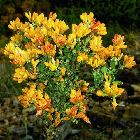 Propiedades medicinales carquesia hierbas y plantas for Hierbas y plantas medicinales