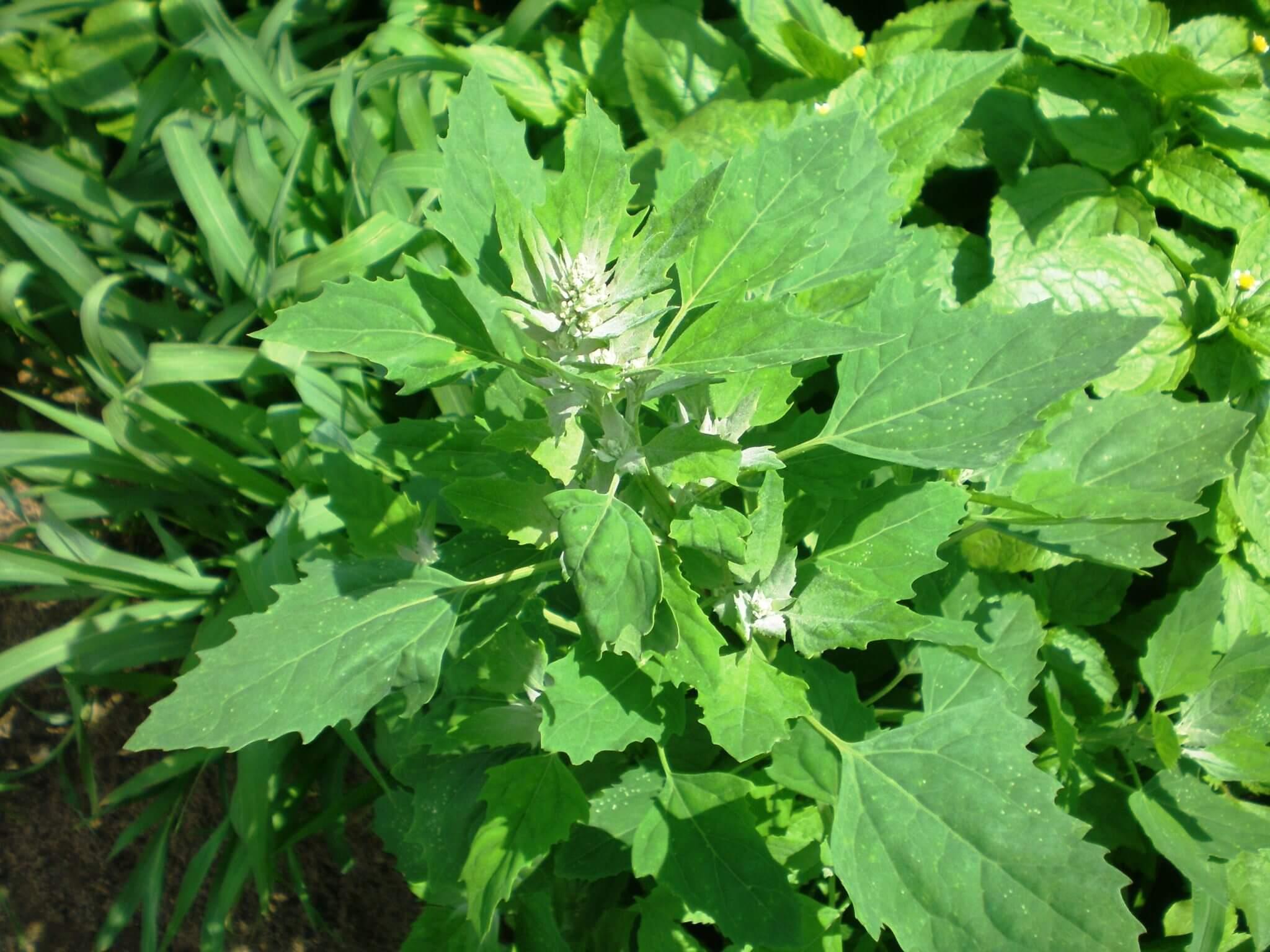 Propiedades medicinales cenizo hierbas y plantas medicinales for Hierbas y plantas medicinales